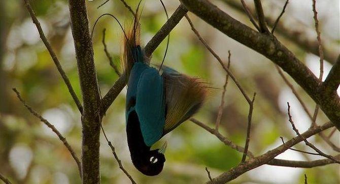райские птицы, птицы новой гвинеи и австралии, Paradisaeidae, Bird of Paradis