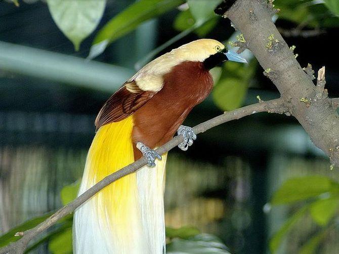 Райские птицы существуют!