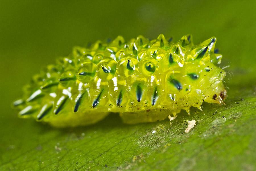 Гусеница Jewel Caterpillar (Acraga coa)