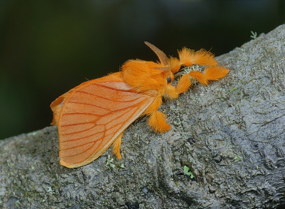 моль из семейства дальцерид (лат. Dalceridae)