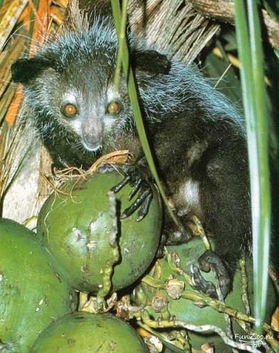 Ай-ай, или мадагаскарская руконожка (лат. Daubentonia madagascariensis) - млекопитающее из отряда полуобезьян