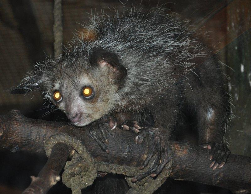 Ай-ай, мадагаскарская руконожка (лат. Daubentonia madagascariensis, Aye-aye)