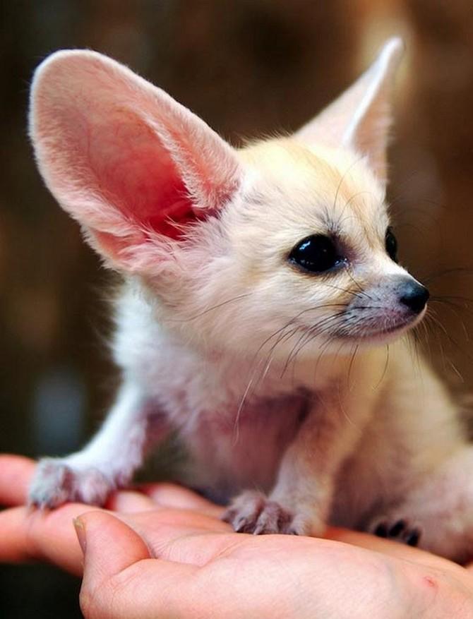 Фенек (Vulpes zerda), фенька, самая красивая лиса с большими ушами