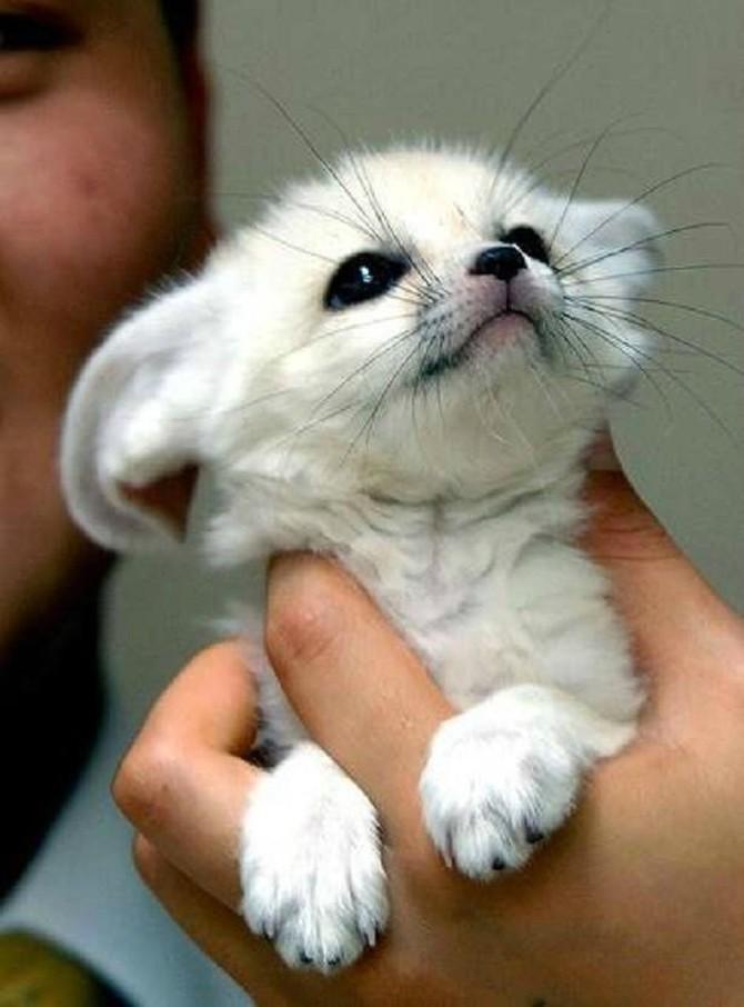Фенек (Vulpes zerda) - самая красивая лиса с большими ушами