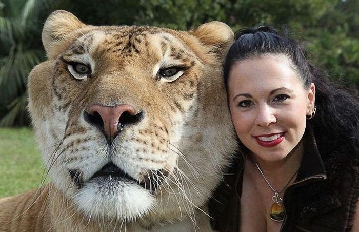 Лигр (Liger) - самая большая кошка в мире