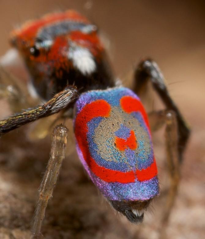 Паук-павлин (Maratus volans) - самый красивый паук в мире