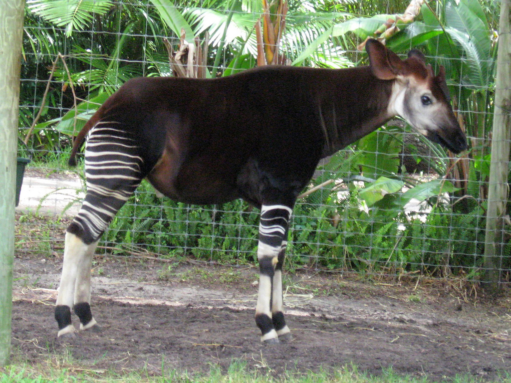Окапи - лесной жираф