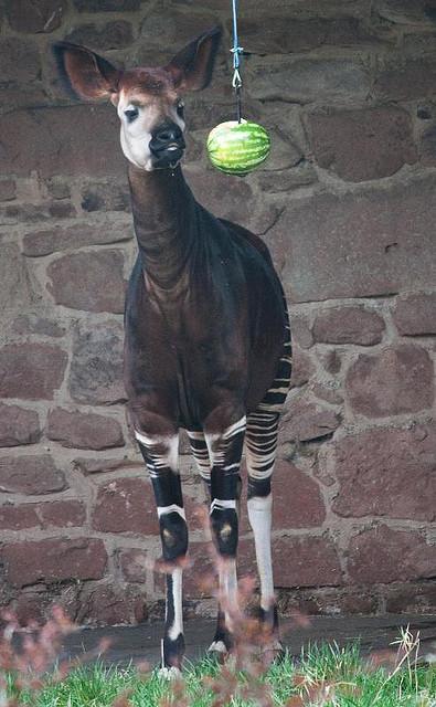 Окапи (лесной жираф)