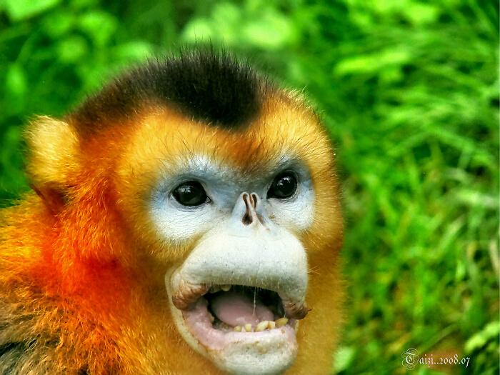 Золотистые курносые обезьяны (Pygathrix roxellana) Сычуань, Китай