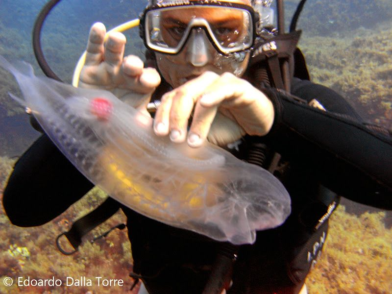 Прозрачное морское существо - Сальпа Маджоре (Salpa Maggiore)