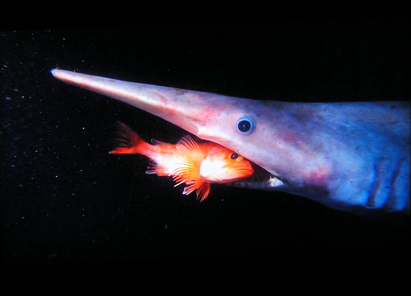 Акула-домовой, или скапаноринх (лат. Mitsukurina owstoni) — глубоководная акула с внешностью гоблина