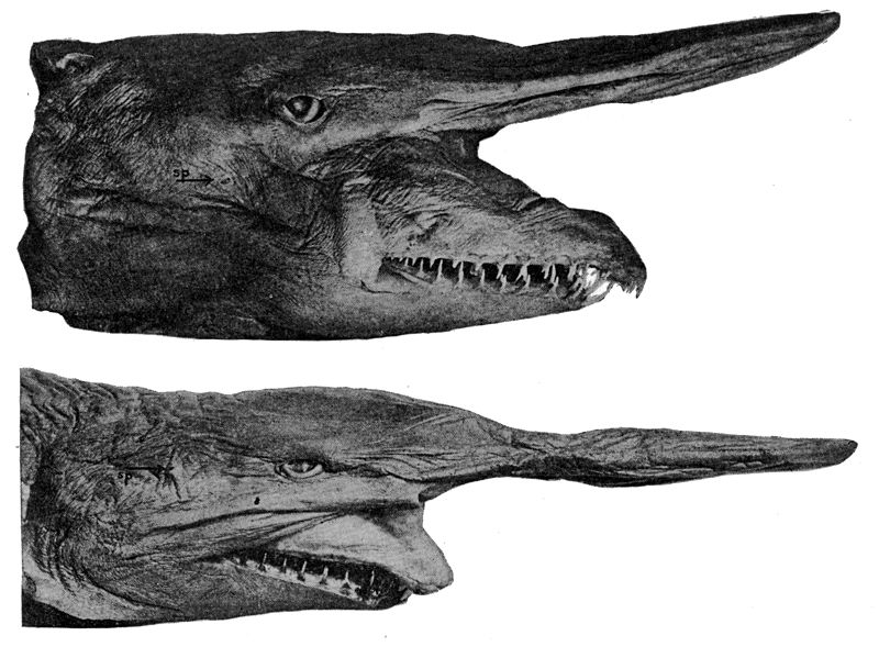 Акула-домовой, или скапаноринх (лат. Mitsukurina owstoni), глубоководная акула, акула-гоблин
