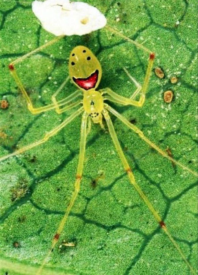 Улыбающийся паук (лат. Theridion grallator, англ. Happy face spider), паук с человеческим лицом,