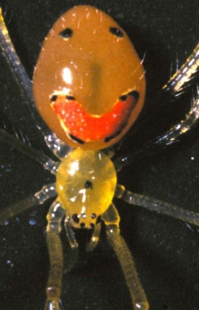 Улыбающийся паук (Theridion grallator) - обитатель острова Мауи на Гавайских островах
