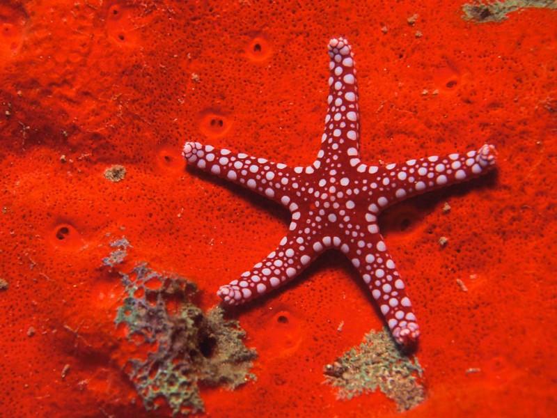 морские звёзды (Asteroidea), класс беспозвоночных, тип иглокожих