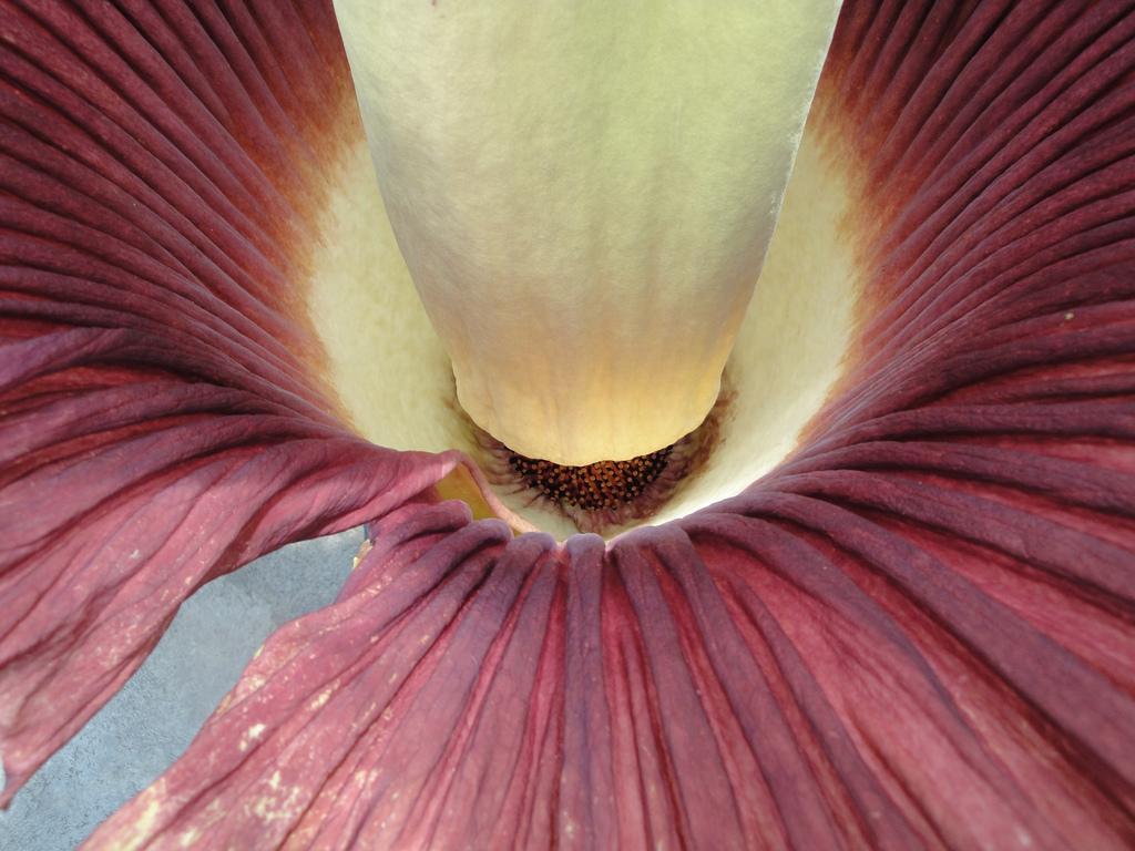 Аморфофаллус титанический, Amorphophallus titanum