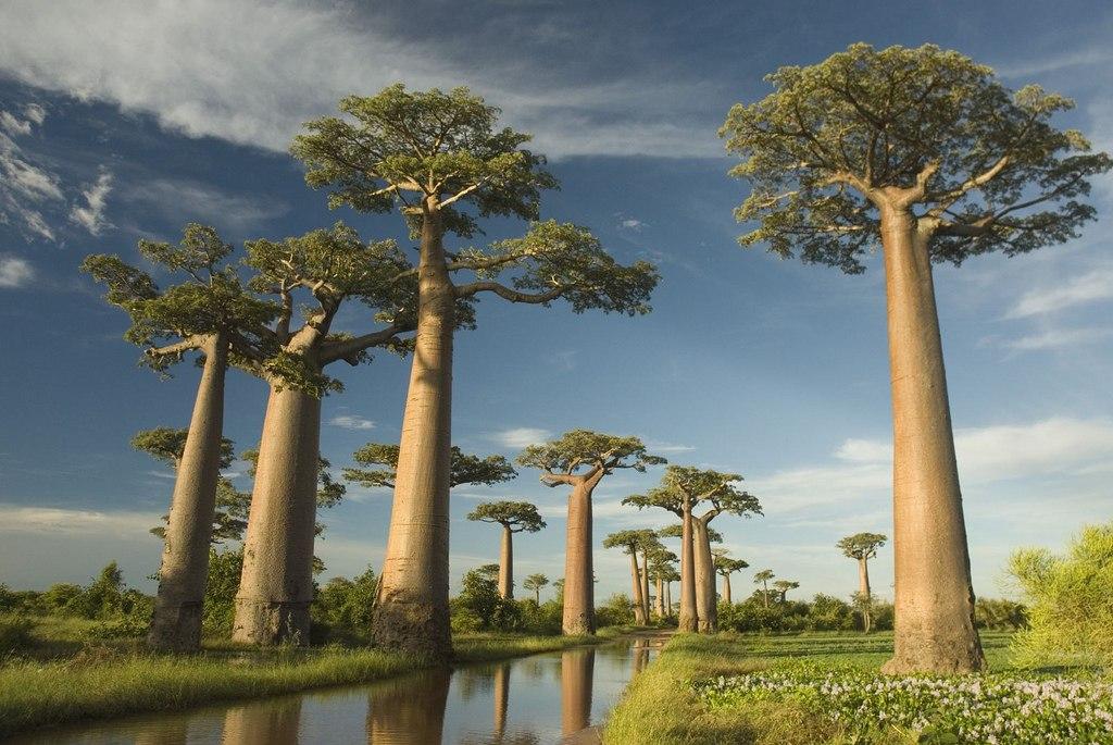 Баобаб - символ Мадагаскара
