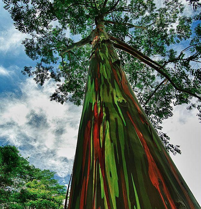 Радужный эвкалипт eucalyptus deglupta