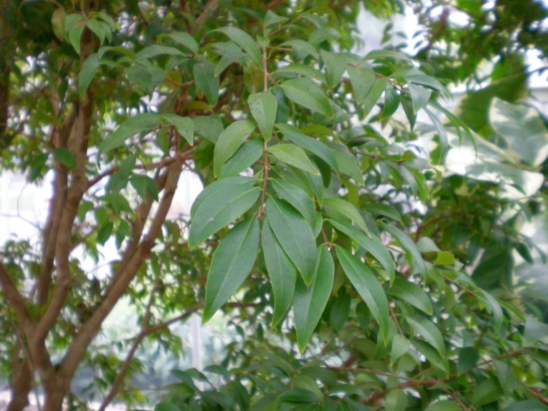 Жаботикаба, джаботикаба, Myrciaria caulifloria, бразильское виноградное дерево, Бразилия