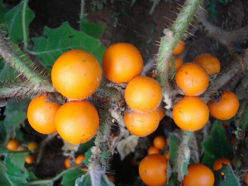 Наранхилла (луло) - необычайно вкусный и полезный фрукт