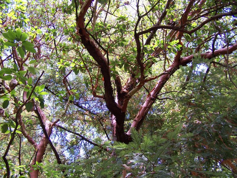 Земляничное дерево, земляничник (Arbutus) - символ Мадрида, столицы Испании