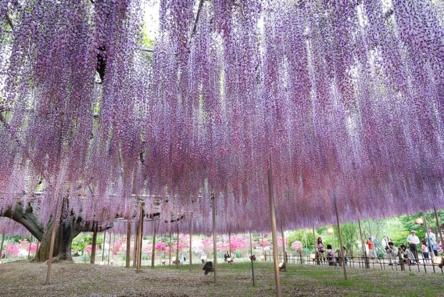 Парк цветов Асикага (Ashikaga Flower Park)о.Хонсю, Япония