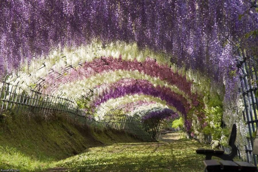 В цветов асикага японии парк