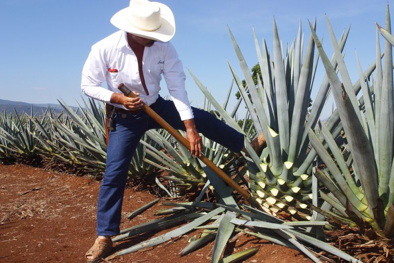 ����� �������(Agave tequilana), ������, �������