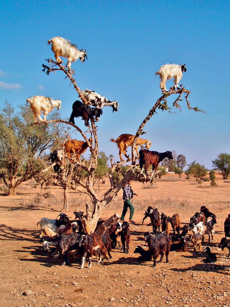 Древолазные козы, Марокко