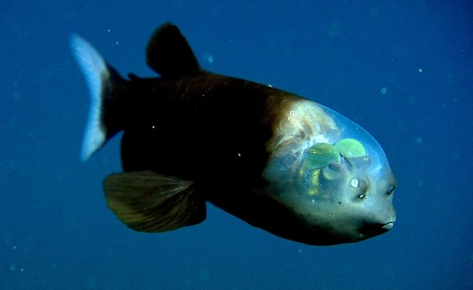 Wikipedia Barreleye