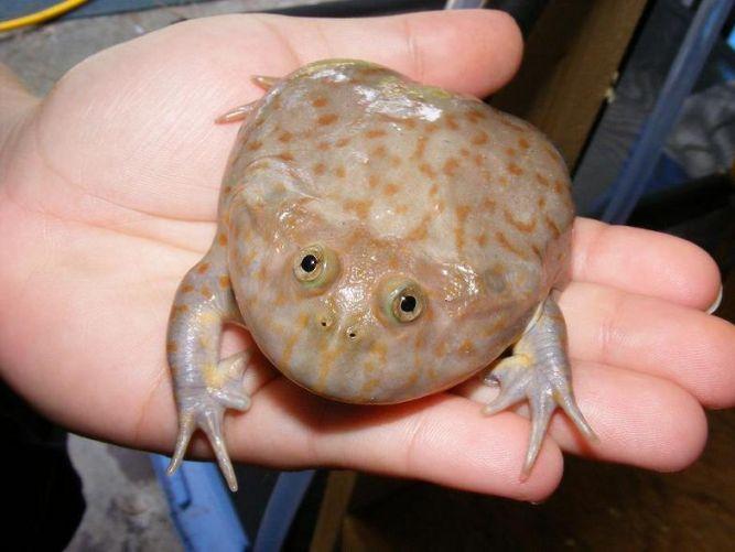 Лягушка Баджита (Budgett's Frog), или Щитоспинки (Lepidobatrachus)