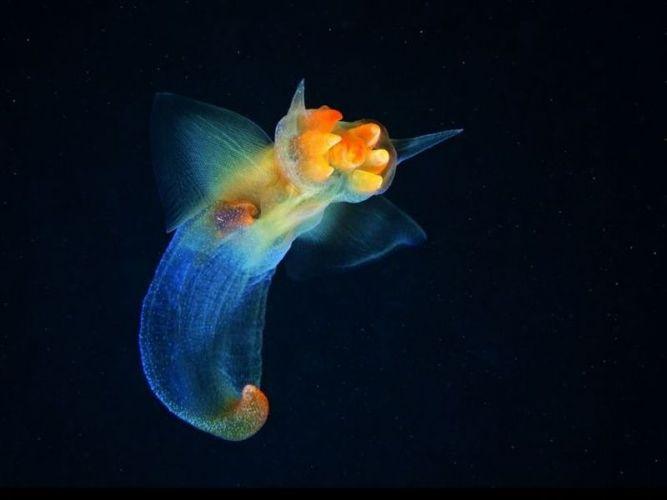 Морской ангел (Clione limacina) - вид брюхоногих моллюсков из отряда Голотелых (Gymnosomata)